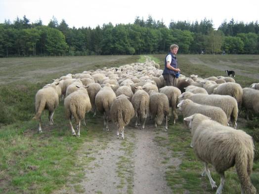 sheeps-3-1387990-1280x960