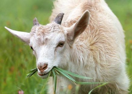 goat-1596880_1920
