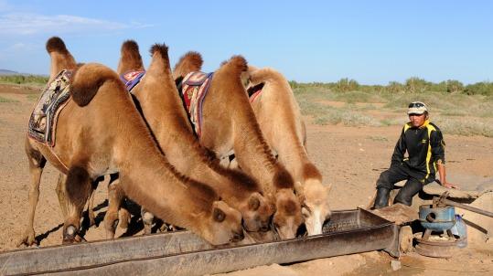 camels-692646_1280